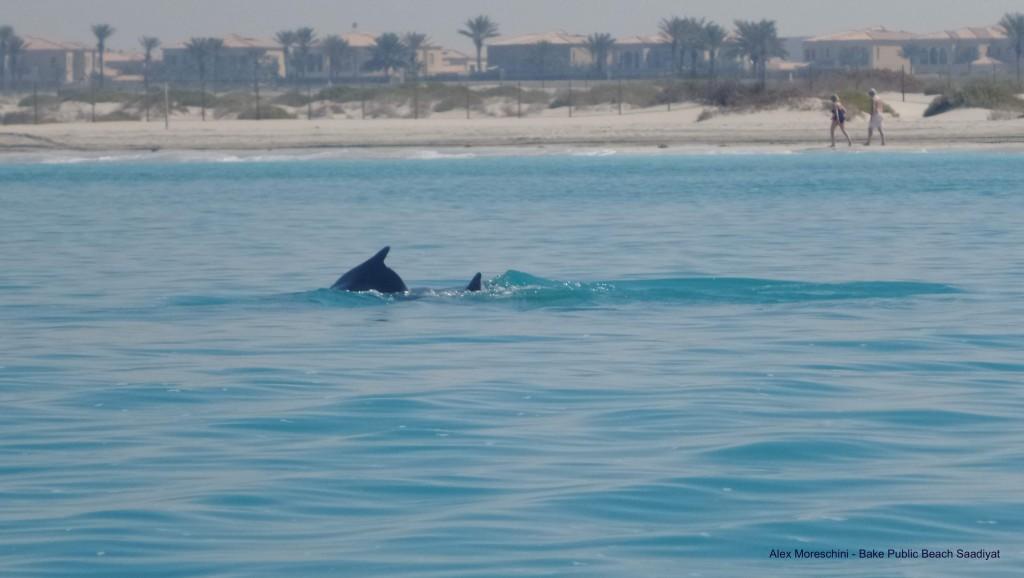 Saadiyat_dolphins_Bake_Public_Beach_2016