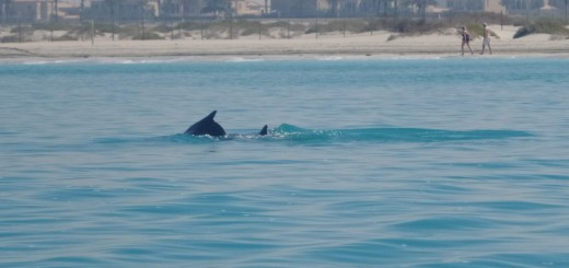 Dolphins regularly seen from the shores of Saadiyat Island